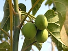 /documents/56164/292023/a592-2008-10-28-jatropha-b1s.jpg/641d45db-1a23-4196-a153-429941e2419b?t=1448306313017